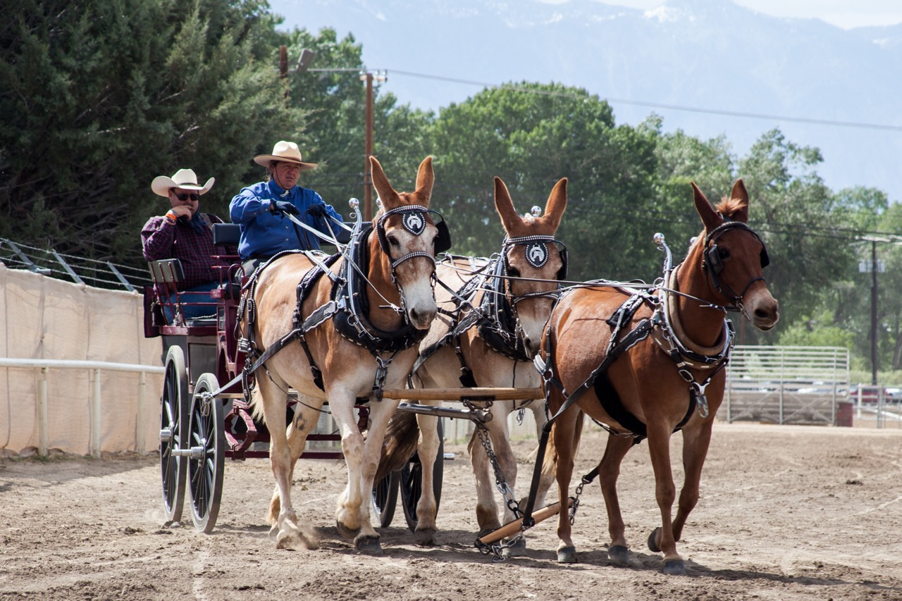 Mule Days Show