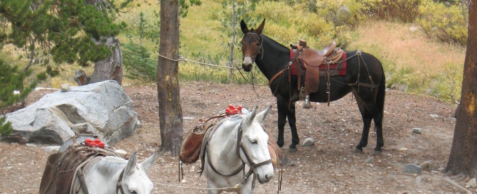 Mules on a pack trip in the high country